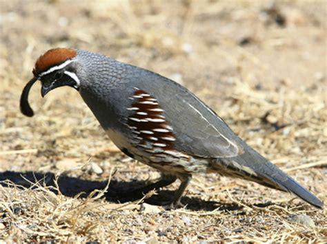 gambel s quail wild delightwild delight