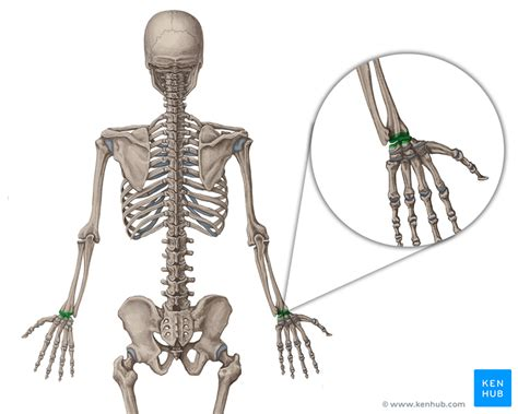 Movements, Bones, Type, Tendons