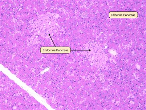 parathyroid glands located virtual microscope slides