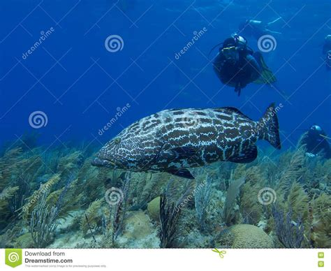 grouper reef swimming jardin cuba reina stunning preview