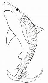 Shark Coloring Tiger Pages Sharks Printable Drawing Drawings Fish Mako Deviantart Facts Week Sketch Khimera Adult Tigers Getcolorings Printables sketch template