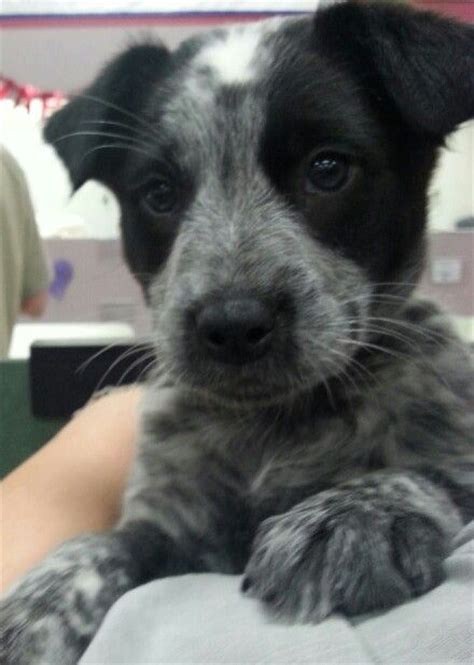 blue heeler border collie mix smokey blue heeler