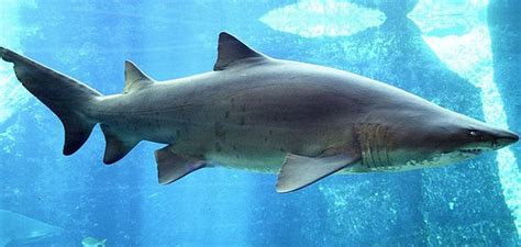 Baby Sand Tiger Shark
