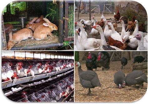 allevamento di animali da cortile come avviare un allevamento di animali da cortile il