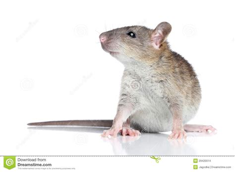 Rat Op Een Witte Achtergrond Stock Afbeeldingen - Beeld ...