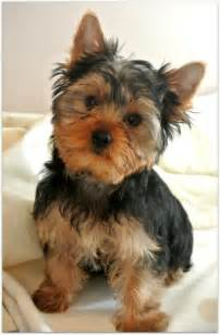 Big Non Hypoallergenic Dogs by Yorkshire Terrier