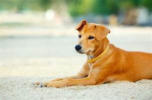 Golden Retriever Lab Mix: Dog Breed Overview and Guide ...