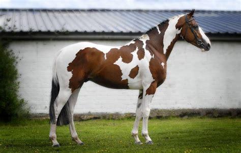horse paint american tobiano quarter horses overo bay breeds stallion markings background apha homozygous silver sabino buckskin painted warmblood pony