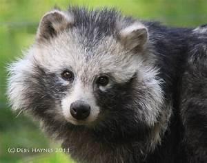 The Raccoon Dog - Nyctereutes procyonoides | Animals ...