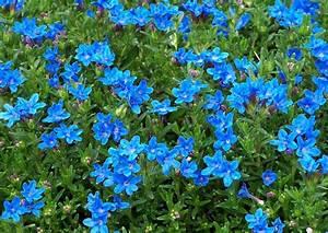 Bodendecker Blaue Blüten : blauer steinsame bl te blau bodendecker ~ Frokenaadalensverden.com Haus und Dekorationen