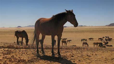 namibia horses wild