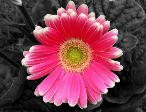 flower color flower black and white with color picture black white