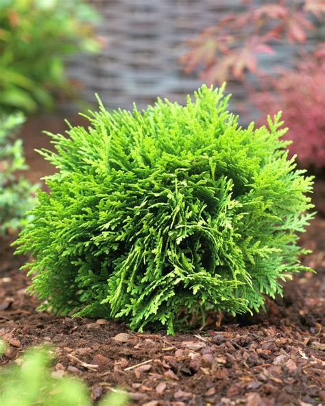 How To Start Nursery Plant Business by Thuja Occidentalis Danica Car Interior Design