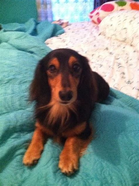 einstein sc long hair dachshund   adoption