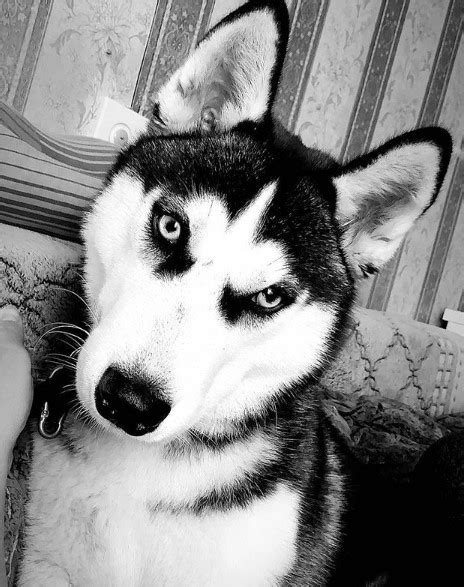 14 Pros and Cons of Siberian Huskies | Page 2 of 3 | PetPress