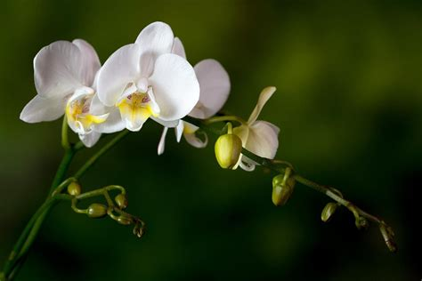 how to get orchids to bloom how to get orchids to bloom and rebloom