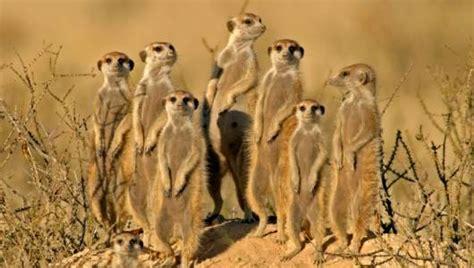 amazing facts  meerkats onekindplanet animal