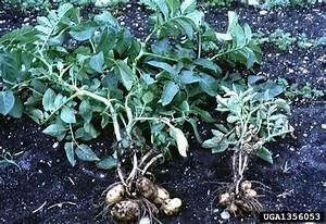 Galardo Blog  Potato Plant