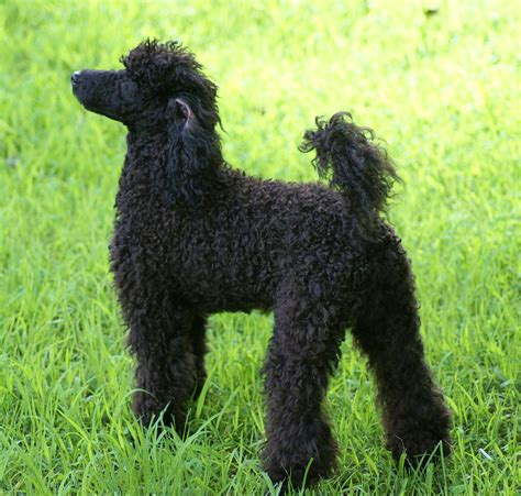Ee  Miniature Ee   Poodle Wiktionary