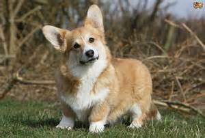 Dogs That Shed Little Hair by How To Keep A Welsh Corgi S Coat Looking Good Pets4homes