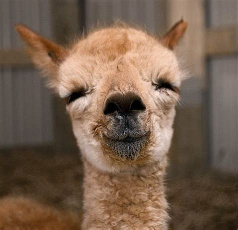 llama smiling 33 best images about alpaca on pinterest special gifts therapy and emo