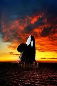 Killer Whale rising at sunset. | Marine Mama | Pinterest