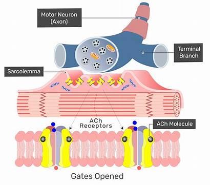 Muscle Acetylcholine Receptors Fiber Cells Fasciculations Ach