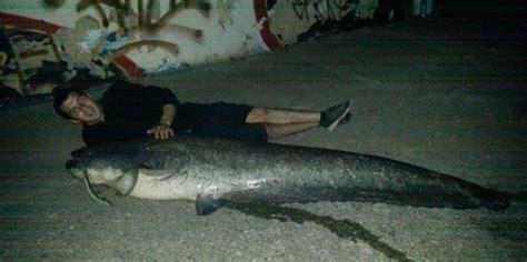 comment cuisiner l anguille silure record du monde top 20 des plus gros silures du