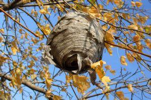 wespen im winter wespennest im winter entfernen gut f 252 r tier und mensch