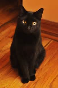 bombay cat bombay cat wallpapers hd