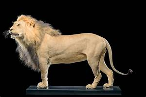 Life Form Taxidermy | Lion