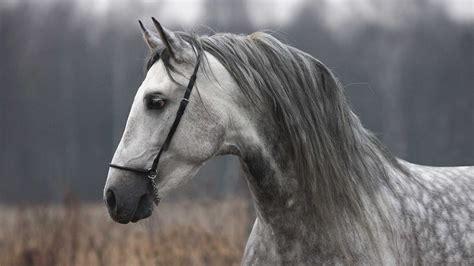 horse gray autumn horses andalusian cavallo grigio spanish gris autunno cheval friesian galop mooie portrait formula winning grey
