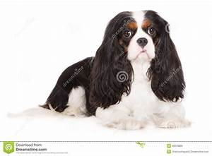 Adorable Tricolor Cavalier King Charles Spaniel Dog Stock ...