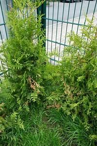 Mein Nachmittag Blumendeko : thuja hecke braun thuja wird nach 25 jahren ganz braun fragen an den meister thuja hecke wird ~ Buech-reservation.com Haus und Dekorationen