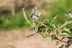 Tomatenblätter Rollen Sich Ein : orchideen krankheiten erkennen und effizient behandeln ~ Lizthompson.info Haus und Dekorationen