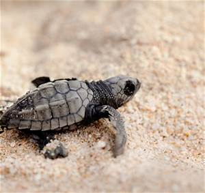 The gallery for --> Cutest Sea Turtle