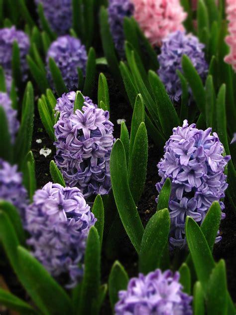 jacinthe en pot arrosage 28 images jacinthe artificielle en pot 25 cm bouquets et pots
