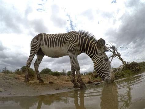 zebras endangered animals grevy wild africafreak zebra