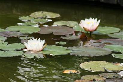Water Lilies Nymphaea Lily 2008 Impressionism Waterlilies