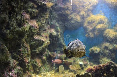 grouper spotted brown aquarium local giant