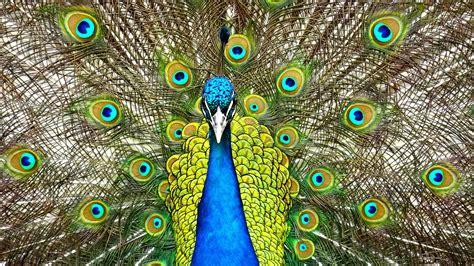 wallpaper peafowl blue peafowl peacock  animals