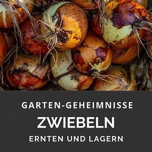 Zwiebeln Richtig Lagern : zwiebeln ernten und lagern garten geheimnisse ~ Watch28wear.com Haus und Dekorationen