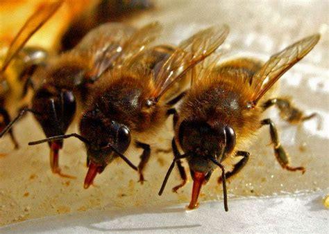 species  bees   tongues