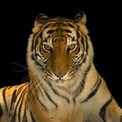 wallpaper  tiger super tiger picture