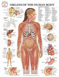 Anatomy Of The Human Body Is An Amazing Structure Made Up Of Many Fascinating Parts And Systems