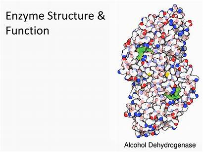Enzyme Structure Function Ppt Powerpoint Presentation Skip