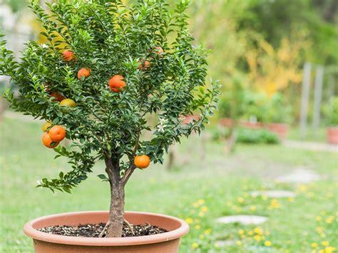 alberi da frutto in vaso piante da frutto come coltivarle in vaso donna moderna