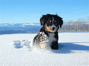 Animal Bernese Mountain Dog Cute Dog Puppy Snow Winter ...