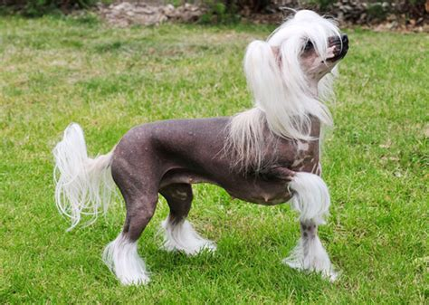 List Of Dogs That Shed Very Little by Breeds Of Dogs And Cats With No Hair
