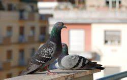 Tauben Vertreiben Geruch : tauben vom balkon vertreiben 7 tipps ~ Eleganceandgraceweddings.com Haus und Dekorationen